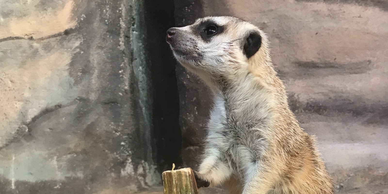 Meerkat Encounter photo